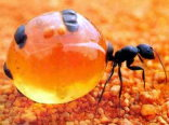 honey ant